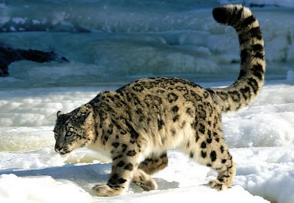 Himalayas Facts-Wildlife of the Himalayas