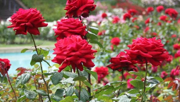 Famous Parks in Ooty-Rose Garden