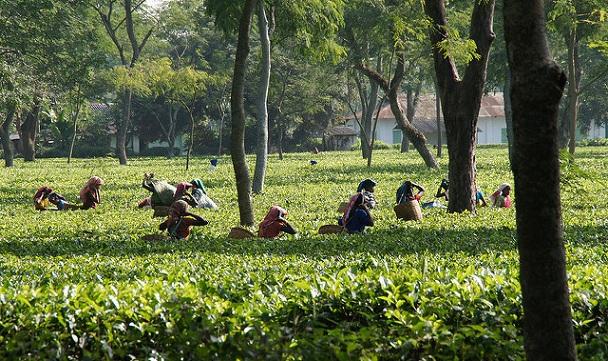 tea-plantation-in-jorhat_assam-tourist-places
