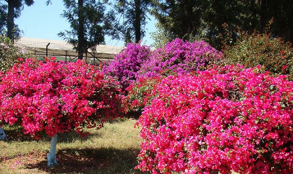 parks-in-chandigarh-bougainvillea-park
