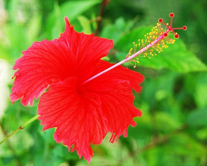 Hibiscus for long hair