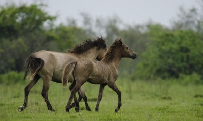 parks-in-assam-dibru-saikhowa-wildlife-sanctuary-feral-horse