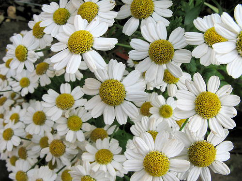 home remedies for migraine feverfew plant