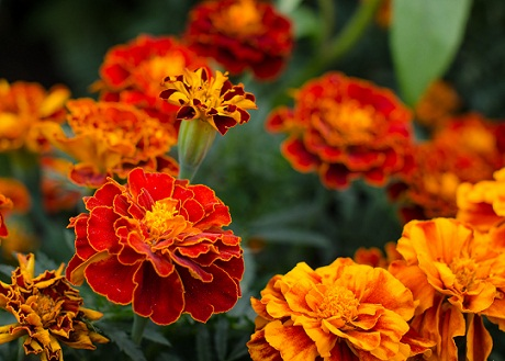 Home Remedies for Glowing Skin - marigold