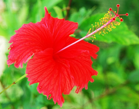 Hibiscus for damaged hair