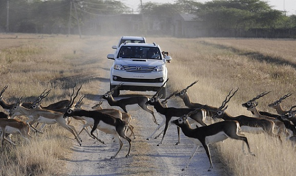 parks-in-gujarat-blackbuck-national-park