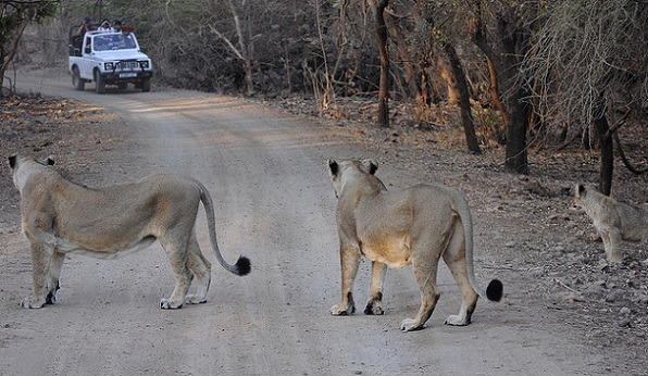 Tourists posing for the lionesses