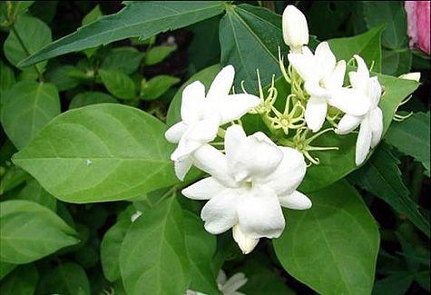 plant of chameli