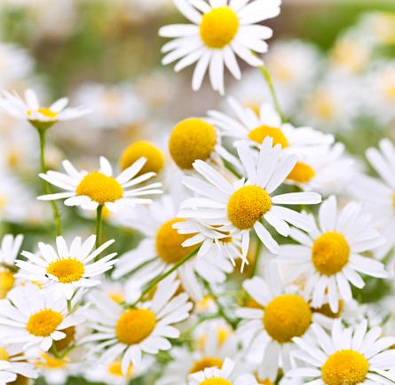 chamomile-benefits