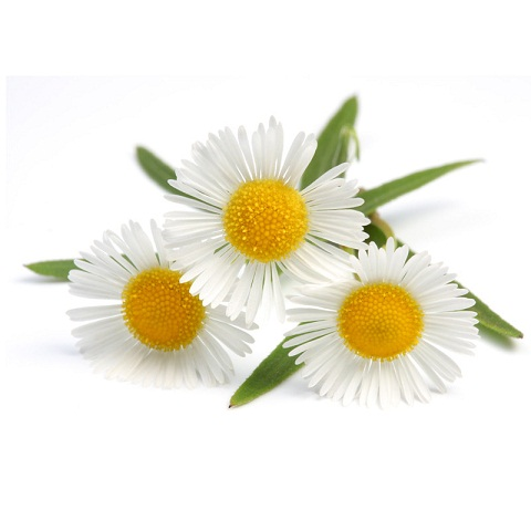 chamomile for pink eye