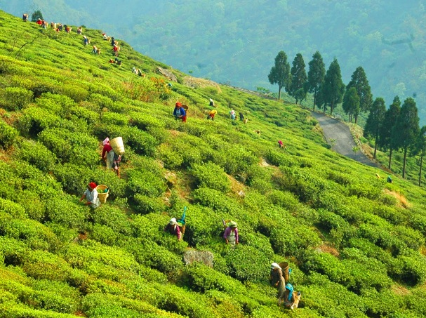 happy-valley-tea-garden_darjeeling-tourist-places