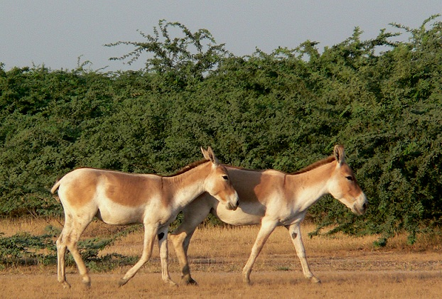 wild-ass-sanctuary_gujarat-tourist-places