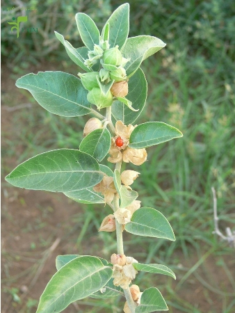 Ashwagandha/Withania somnifera/Indian Ginseng For Increase Height