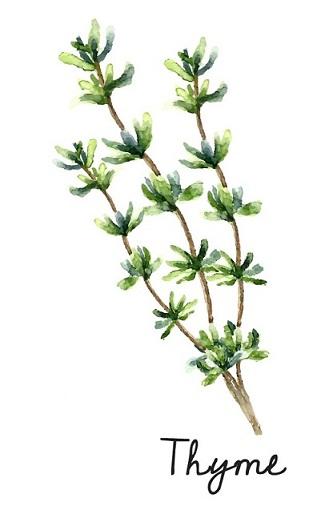 Thyme - herbs all