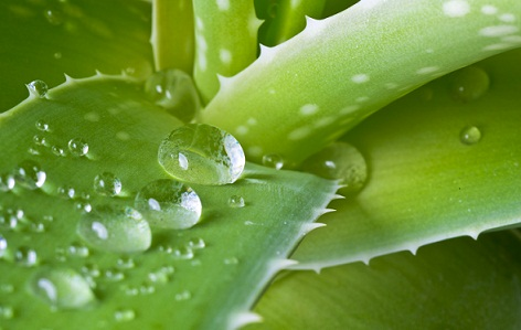 aloe-vera-to-remove-dandruff-permanently