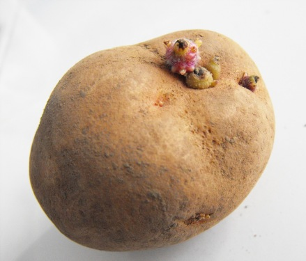 seed-potatoes