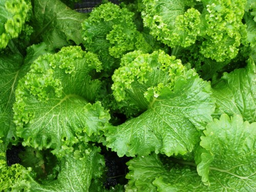 Green Leafy Vegetables 5