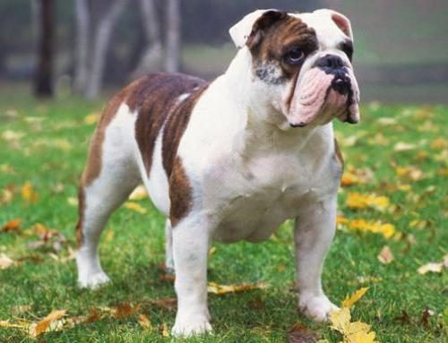 What are some types of bulldogs?