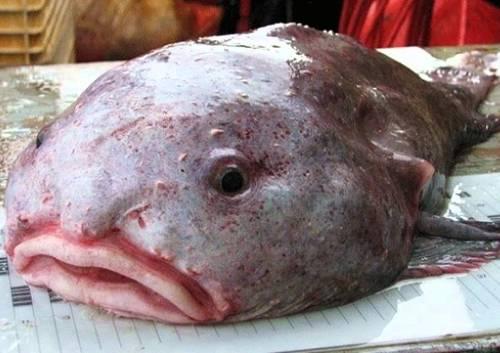 Types Of Sea Fish Blob Fish