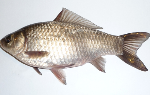 Types of Fish in India Common Carp