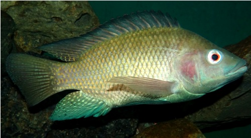 Types of Fish in India Nile Tilapia