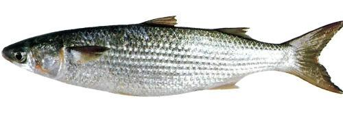 Freshwater Fish List Flathead Grey Mullet