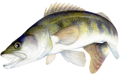 Types of fishes 6