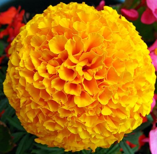 homemade-masoor-dal-face-packs-marigold-flower