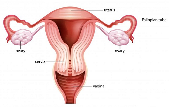 Cervix During Early Pregnancy