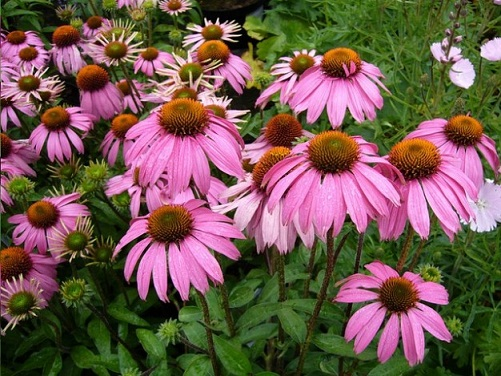 Echinacea during pregnancy 1
