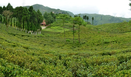 Tukvar Valley Tea Estate