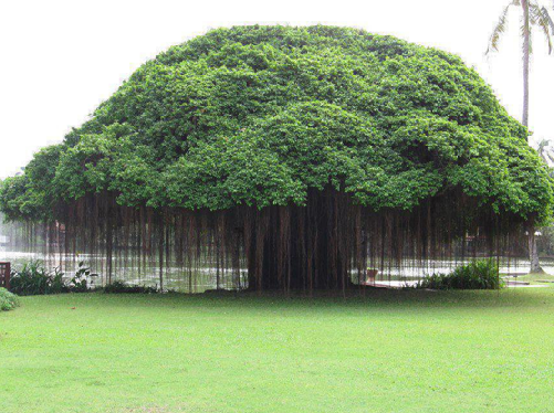 1.Banyan tree