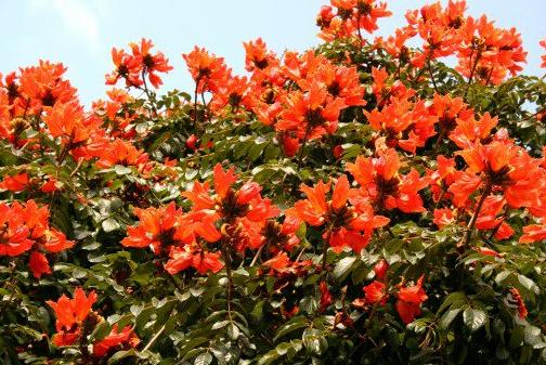 10. Tulip tree