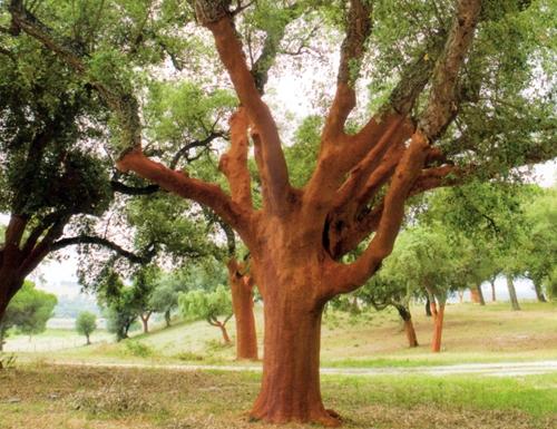12. Cork tree