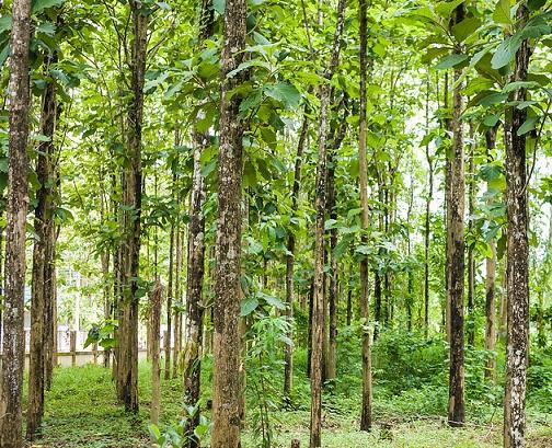 14. Teak tree