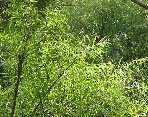 15. Black willow tree
