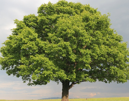 17. The oak tree