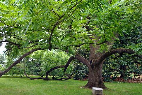 19. Black walnut