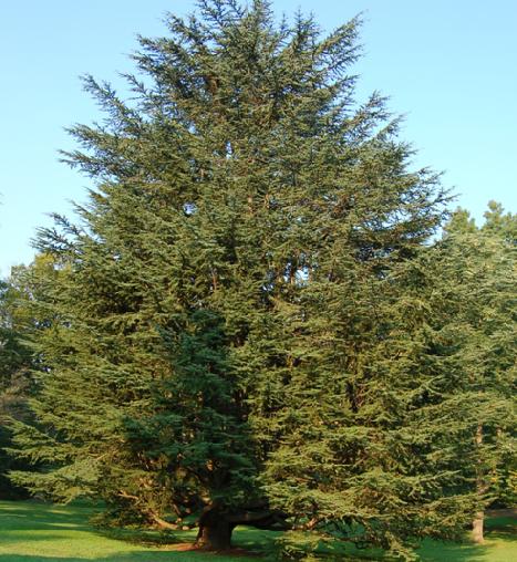 20. Cedar