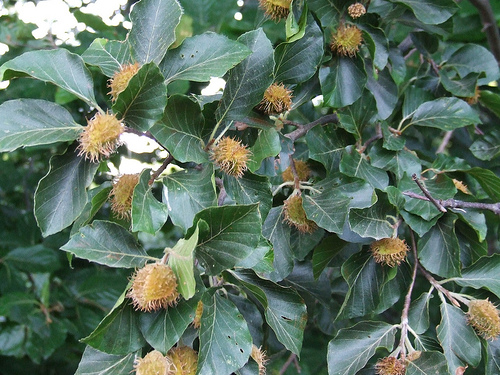 21. Beech tree