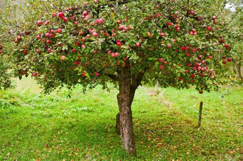 22. Apple tree