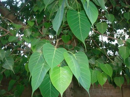 3. Peepal tree