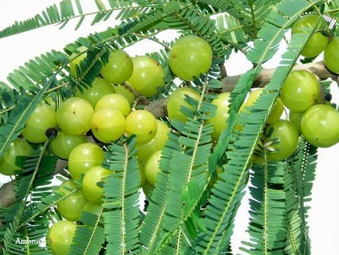 6. Amla plant