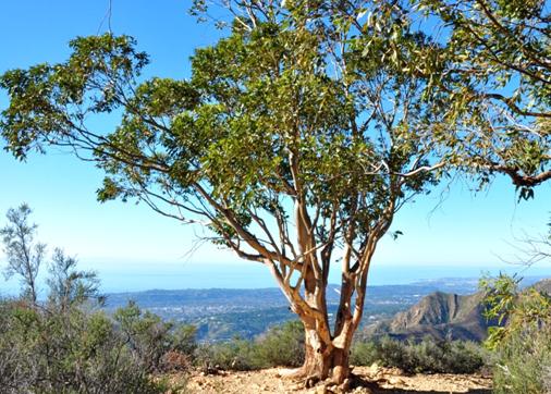 7. Eucalyptus