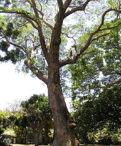 9. Indian rosewood