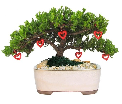 Juniper Bonsai Gift