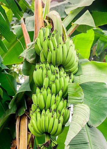10 Types Of Bananas In India Info Amp Pictures Of All