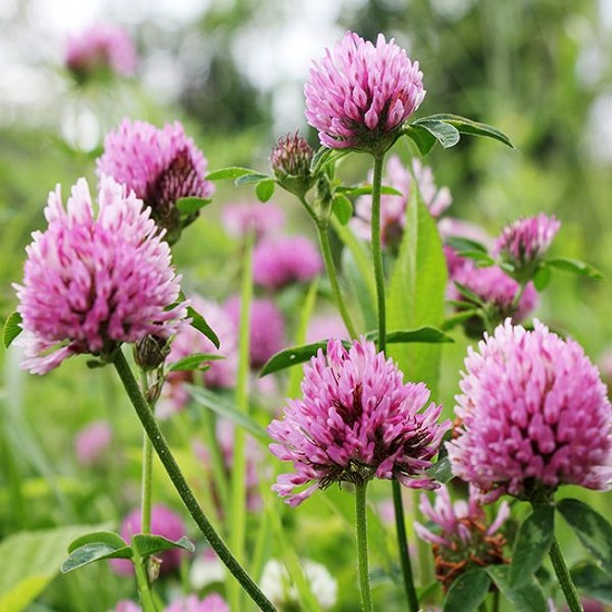 Red Clover for breast enlargement