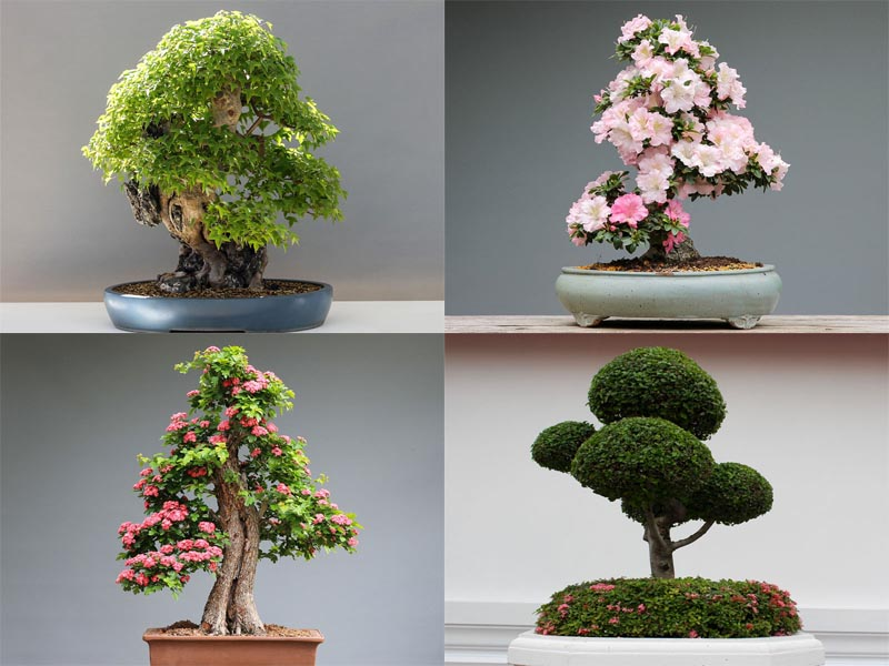 Types Of Bonsai Trees 20 Best Varieties And Shapes With Pictures